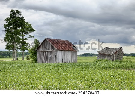 Two old, weathered farm sheds stand in the middle of a corn field on cloudy summer day on a farm in Ohio.