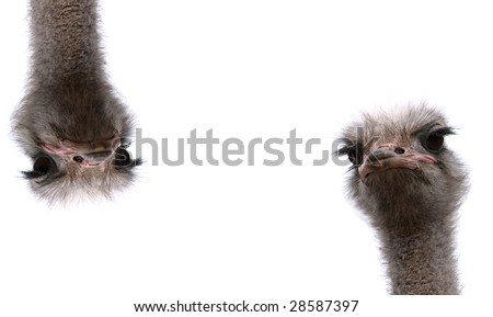 two ostrich heads isolated on the white background