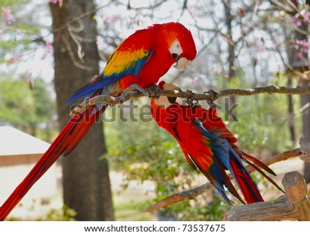 Two Parrots playing on limb