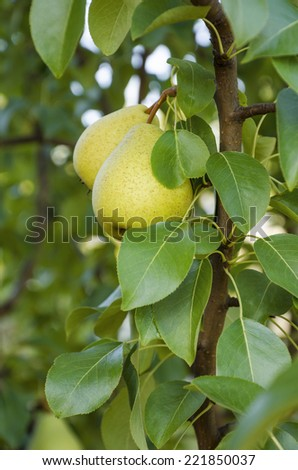 Two pears hanging on a branch