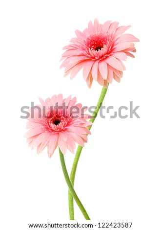 Two pink Gerber flowers, daisies isolated on white