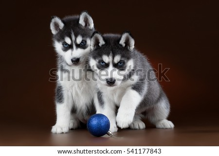 two puppies of Siberian husky on a brown background in the Studio