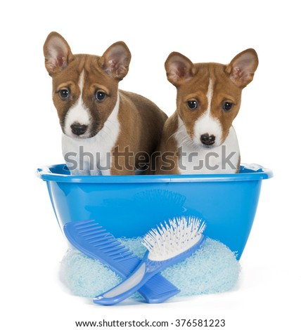 two puppies of the Basenji in the wash basin on a white background. grooming