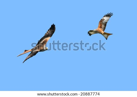 Two red kite eagles birds of prey, flying together in a clear blue sky.