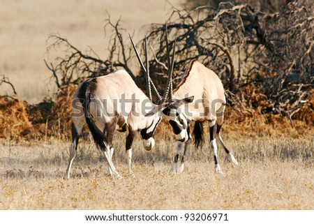 Two sparring gemsbok in Kgalagadi desert