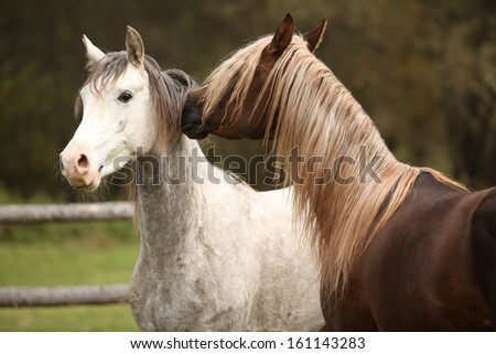 Two stallions playing on pasturage in autumn