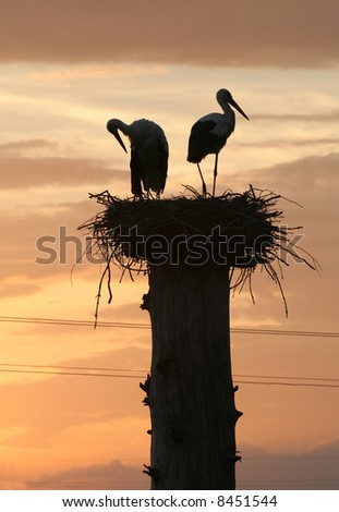 Two storks in their nest at the evening time