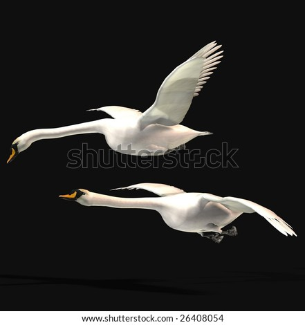 Two swans flying with black background
