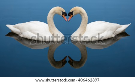 Two Swans form a love heart shape with their necks