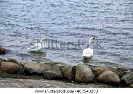 Two swans in the water in Denmark