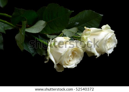 Two white fresh roses isolated on the black background