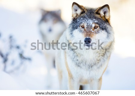 Two wolves in cold winter landscape
