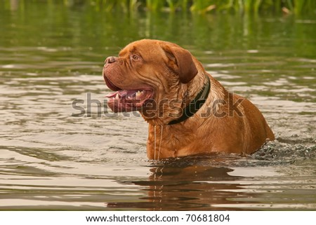 Two years old Dogue De Bordeaux swimming in forest lake