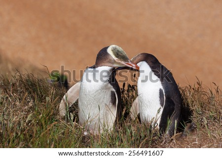 Two Yellow Eyed Penguins touching eachother, South Island, New Zealand