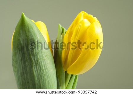 two yellow tulips, grey background
