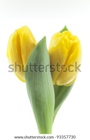 two yellow tulips on white background