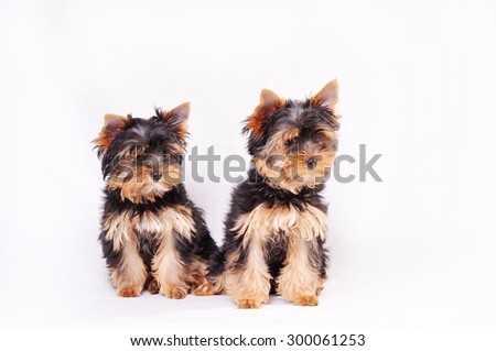 Two Yorkshire terrier puppy sitting on a white background