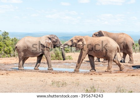 Two young African Elephant bulls engaging in a test of strength