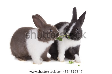 Two young dwarf rabbit pull each other sprig of parsley. Isolated on white background