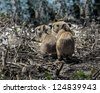 Two young ones capybara in the El Cedral - Los Llanos, Venezuela, Latin America - stock photo
