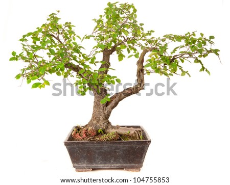 Ulmus minor bonsai isolated on white