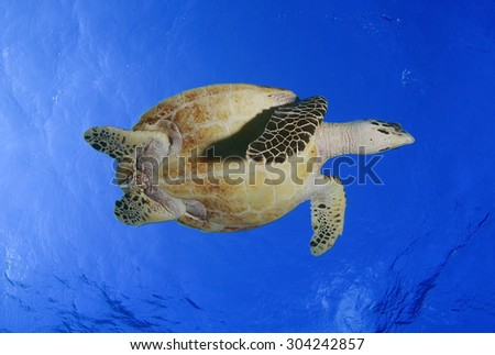 UNDER VIEW OF HAWKBILL SEA TURTLE SWIMMING AT SURFACE OF OCEAN