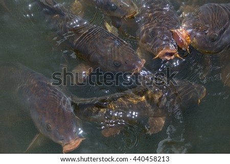 underwater feeding carps in closeup with open mouth