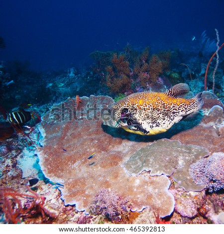 Underwater Landscape with Box Fish near Tropical Coral Reef, Bali, Indonesia