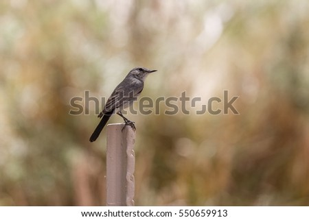 Unknown small gray bird on blurred background