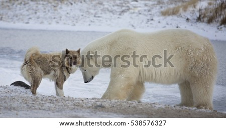 Unlikely pair.  A polar bear and Canadian Eskimo dog.  Late autumn in Churchill, Manitoba, Canada.