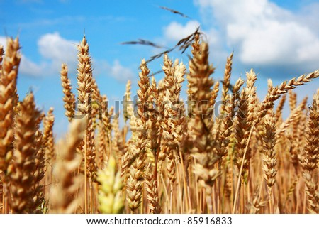 Unripe wheat in summer