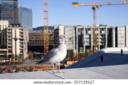 Urban bird looking into camera at sunny day, city construction woks on background. Photographed in Oslo, Norway.