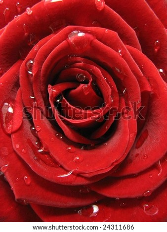Valentine rose with water drops