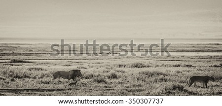 Vanishing Africa: Vanishing Africa: vintage style image of a lion and a lioness in the early morning lights in the Ngorongoro Crater, Tanzania