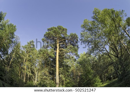 Vanishing pine trees crowns on blue sky background fisheye view
