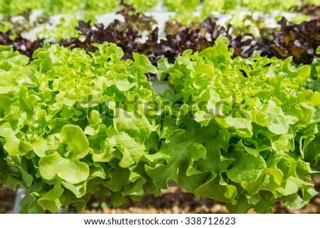 Vegetable salad green oak planted hydropronick tastes delicious.