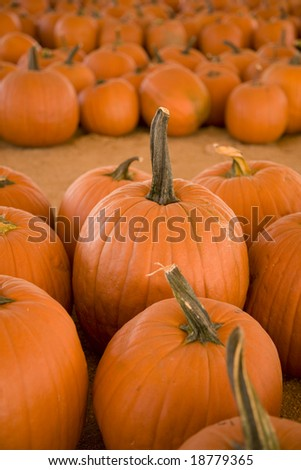 Vertical image of pumpkins in a pumpkin patch.