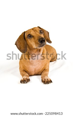 Vertical Shot Of Wiener Dog Dachshund Looking Curious On White Background