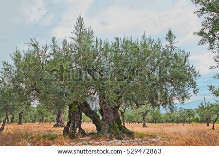 very ancient olive tree, 1700 years old, growing in Umbria, Italy