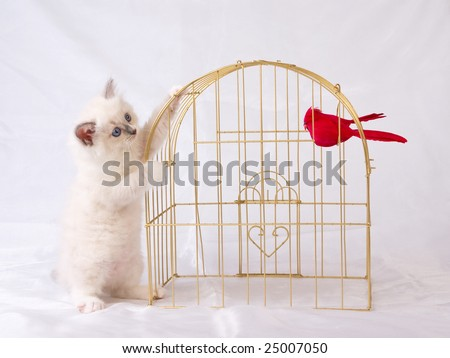 Very cute and pretty Ragdoll kitten in gold birdcage with two red birds