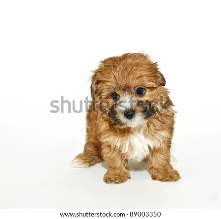 Very cute yorkie-Poo puppy on a white background with copy space.