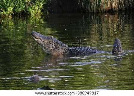 Very large Florida Alligator does the mating ritual in a swamp
