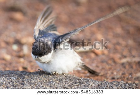 Very young Barn Swallow sitting on the ground while learning to fly
