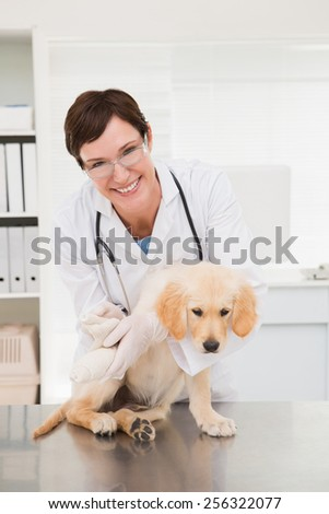 Vet doing a bandage at dog in medical office