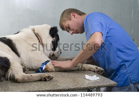 veterinarian doctor making a checkup  of a dog