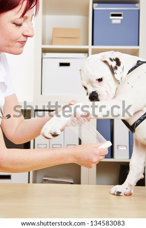 Veterinarian putting bandage on paw of a boxer dog