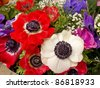 Vibrant and colorful red and white anemone flowers - stock photo