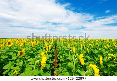 Vibrant sunflower field under blue cloudy sky