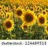 Vibrant sunflowers in a meadow, backlit by the evening sun. Selective focus on front flower. - stock photo