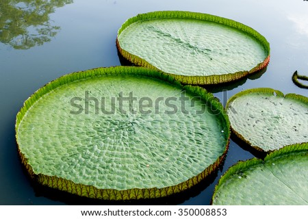 Victoria waterlily/royel water lily